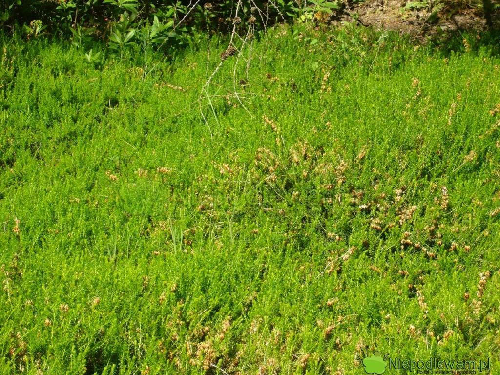 Zielony kobierzec zwrzośców. Fot.Niepodlewam