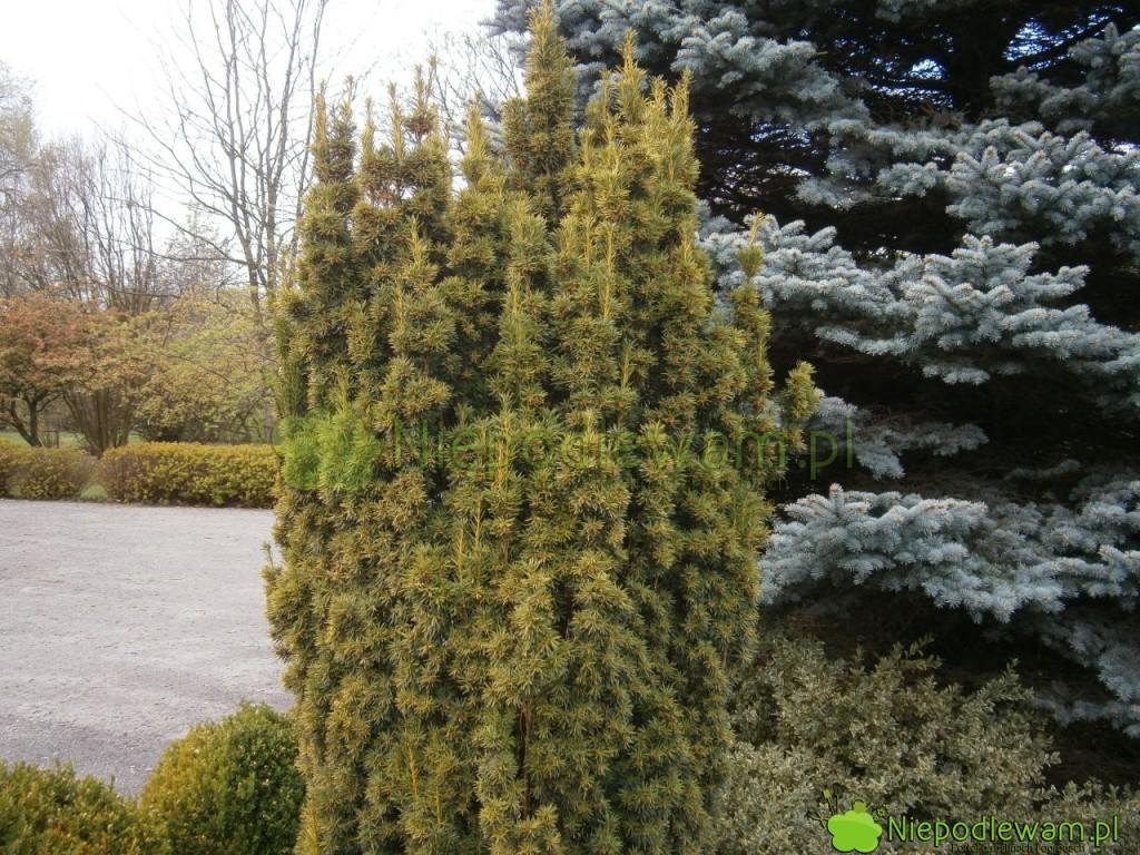 Na zimę niektóre cisy pospolite zmieniają kolor. Na zdjęciu: cis pospolity Fastigiata. Fot. Niepodlewam