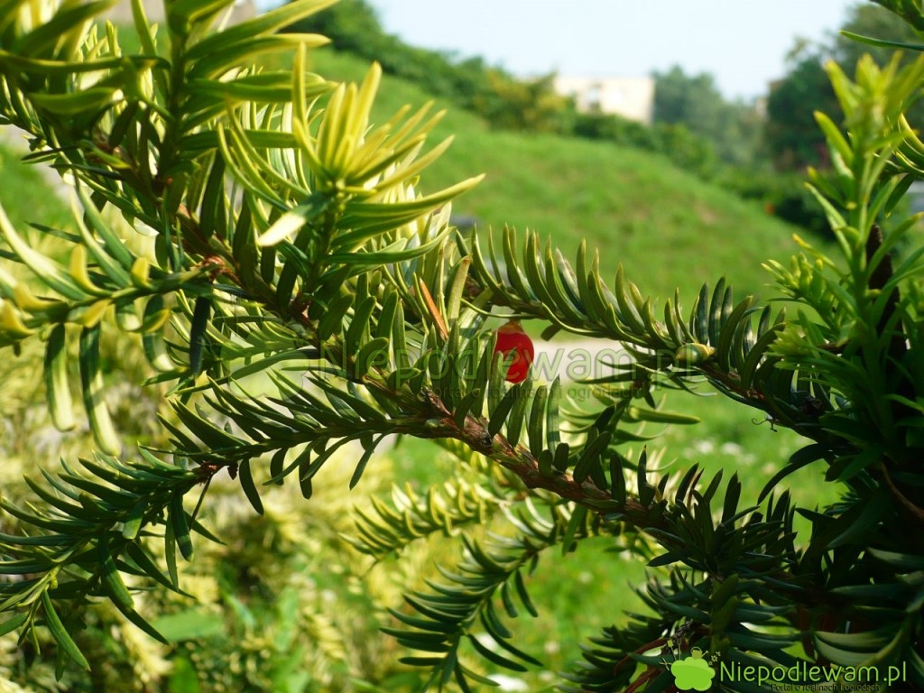 Cisy pospolite są męskie lub żeńskie. Odmiany żeńskie zawiązują nasiona w czerwonych osnówkach, które wyglądają jak jagody. Fot. Niepodlewam