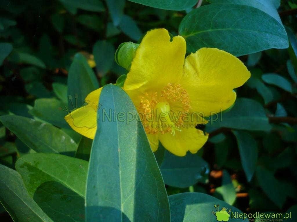 Dziurawiec Hidcote zwraca uwagę ogromnymi, jak nadziurawca, kwiatami. Fot.Niepodlewam