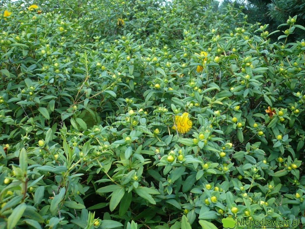 Cięty co roku dziurawiec Hidcote wypuszcza dużo kwiatów. Takkrzew wygląda napoczątku lipca (VII). Fot.Niepodlewam