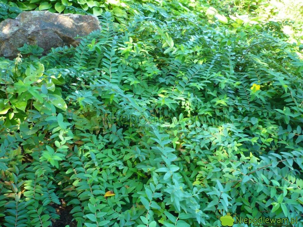 Dziurawiec Hidcote rosnący wpółcieniu ma mniej kwiatów, alejego liście są bardzo ładne. Fot.Niepodlewam