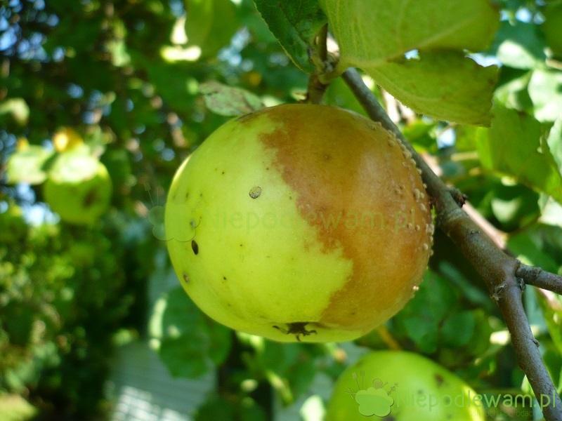 Jeśli jabłka gniją na drzewie, to znak, że jabłoń jest zaatakowana przez chorobotwórcze grzyby. Na zdjęciu: jabłko zniszczone przez brunatną zgniliznę drzew ziarnkowych. yFot. Niepodlewam