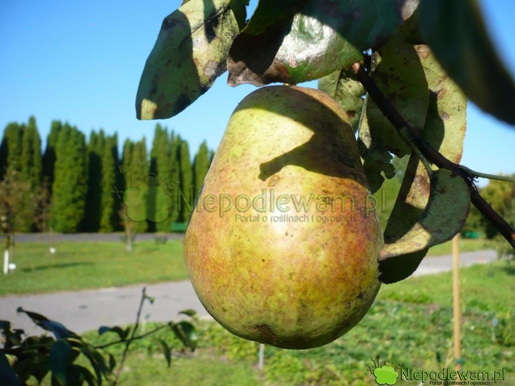 Grusza Hortensia ma duże ibardzo duże owoce. Ich kształt przypomina jajko. Fot.Niepodlewam
