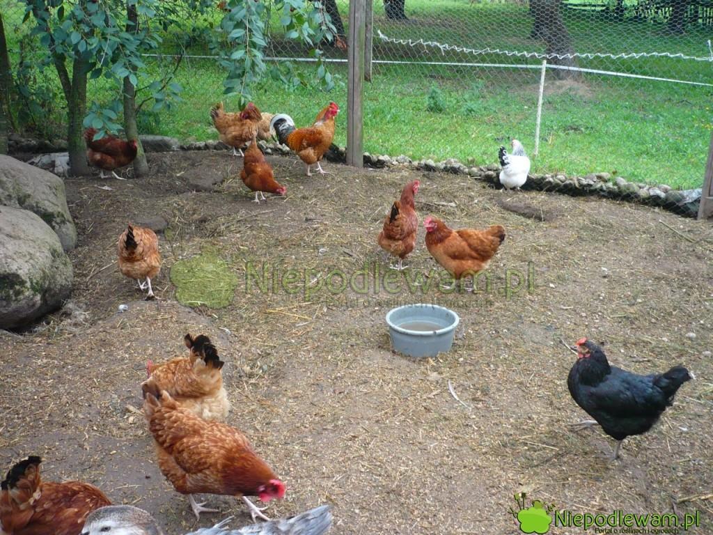 Kury to także sprzymierzeniec w walce ze szkodnikami w sadzie. Fot. Niepodlewam
