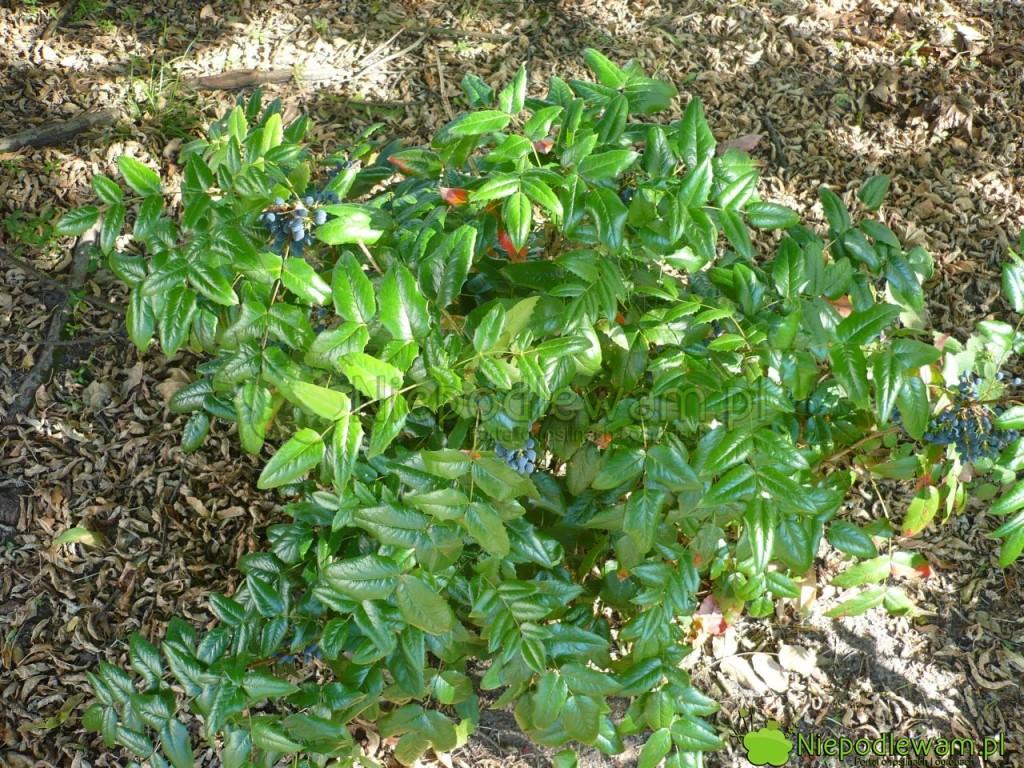 Mahonia pospolita ma liście podobne do ostrokrzewu kolczastego. Krzewy są często mylone. Fot. Niepodlewam