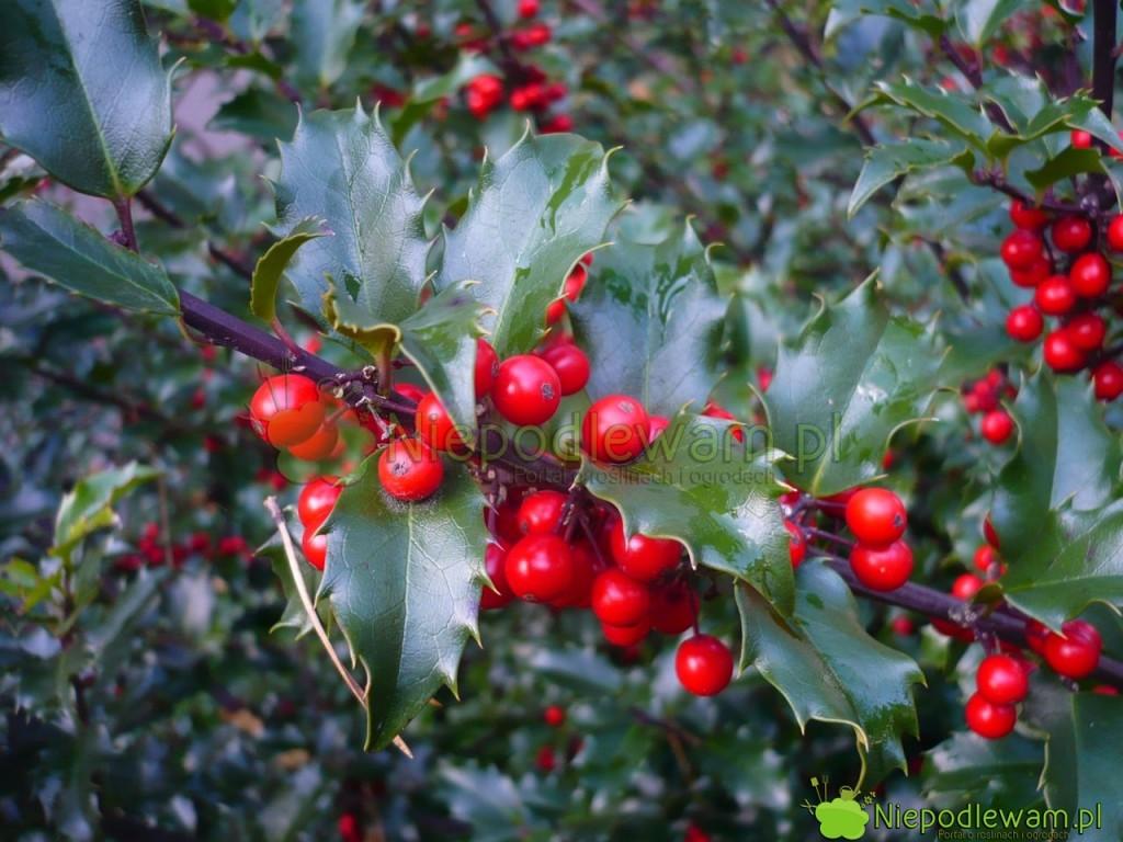 Ostrokrzew kolczasty jest zielony cały rok. Nie zrzuca liści na zimę. Egzemplarze żeńskie mają owoce czerwone lub żółte. Fot. Niepodlewam