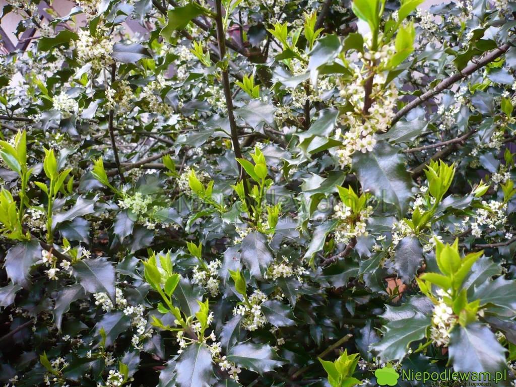 Ostrokrzewy kolczaste są obsypane drobnymi, białymi kwiatami, które bardzo ładnie pachną. Fot.Niepodlewam