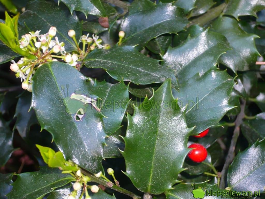 Owoce ostrokrzewu kolczastego wiszą nagałęziach nawet dokolejnego kwitnienia (aleniewszystkie). Fot.Niepodlewam