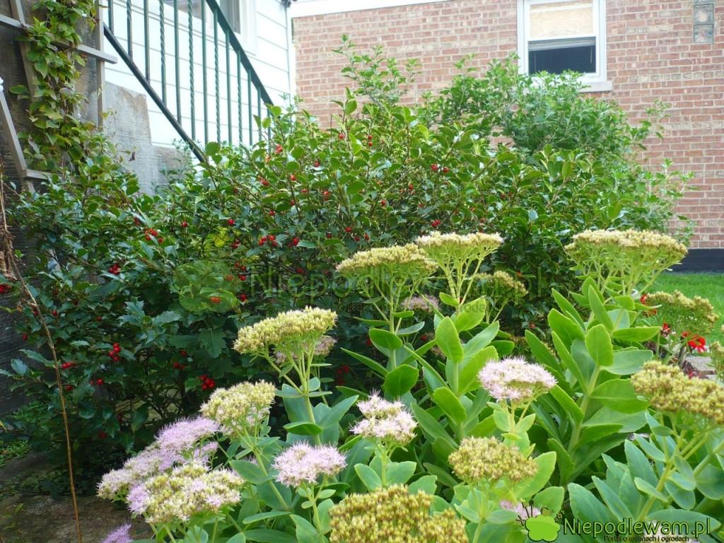 Sadzenie ostrokrzewu kolczastego przed wejściem do domu to stary zwyczaj. Jej popularny m.in. w Wielkiej Brytanii. Fot. Niepodlewam