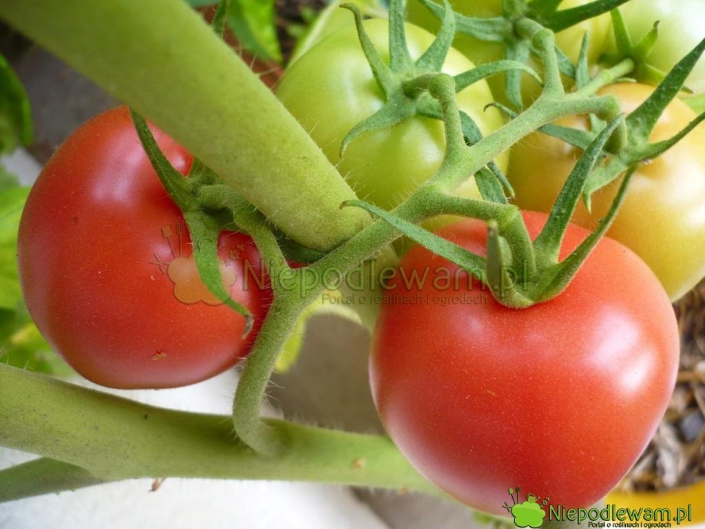 Pomidor Malinowy Retro ma owoce średniej wielkości, rzadziej duże. Są władnym, malinowym kolorze. Fot.Niepodlewam