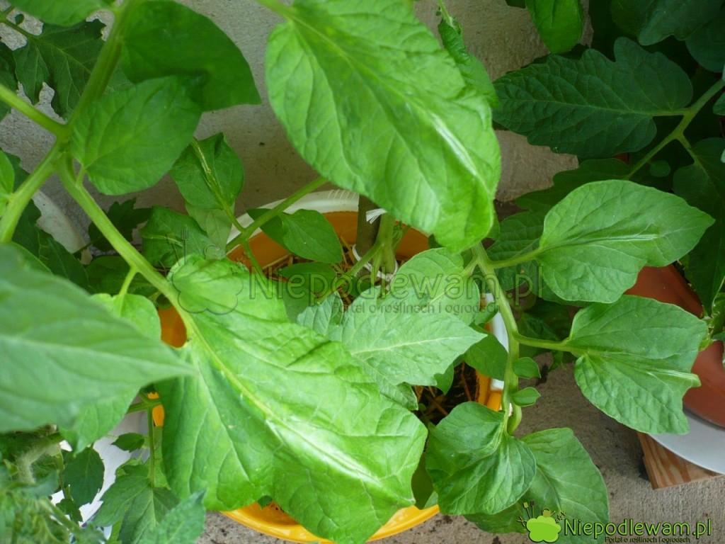 Pomidor Malinowy Retro uprawiany wdonicy. Fot.Niepodlewam