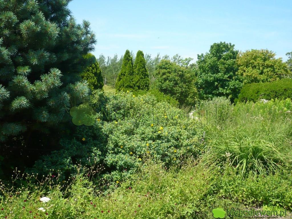 Sosna pospolita Watereri w ogrodzie w stylu naturalnym. Tuż obok rośnie dziurawiec Hidcote. Fot. Niepodlewam