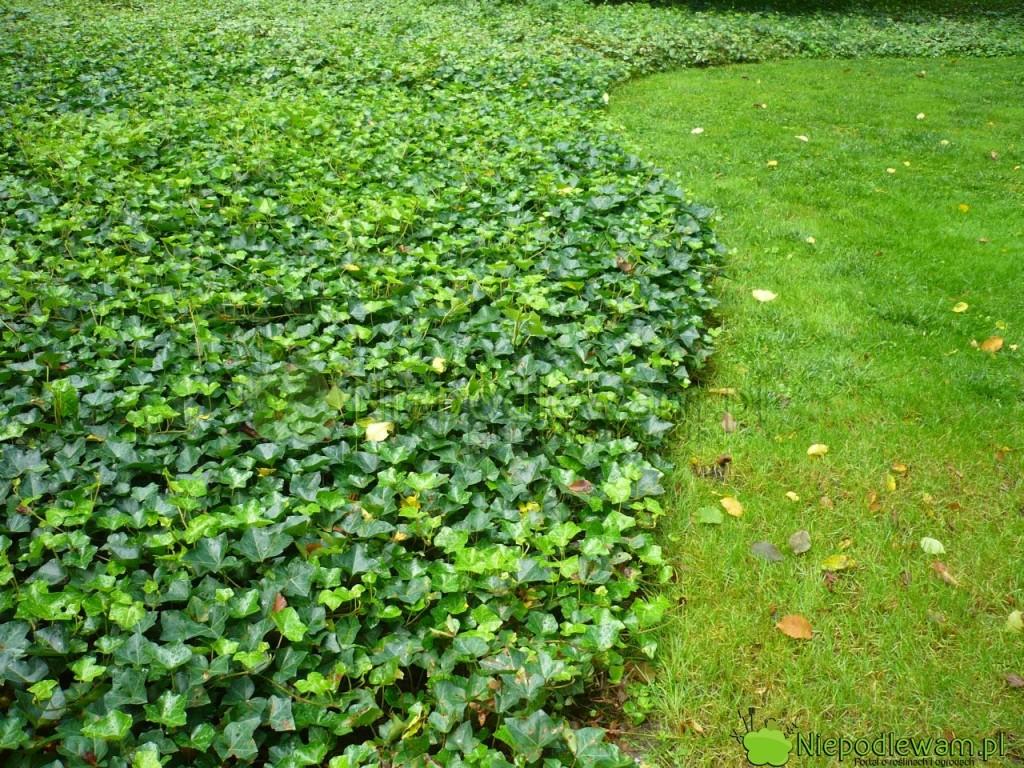 Bluszcz pospolity, gdyniema się poczym piąć, tworzy zielony dywan jak trawnik. Fot.Niepodlewam