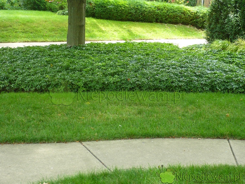 W zacienionych miejscach, np. pod drzewami, zamiast trawnika można sadzić różne rośliny. Tutaj trawnik przeplatają łany runianki japońskiej. Fot. Niepodlewam