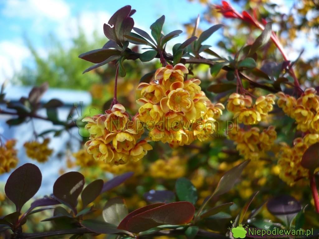 Wszystkie berberysy Thunberga kwitną w maju. W zależności od odmiany kwiatów jest mniej lub więcej. Fot. Niepodlewam