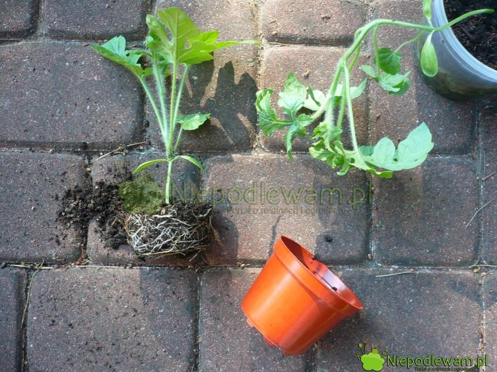 Arbuzy trzeba sadzić dogruntu bardzo delikatnie, zjak najmniej naruszoną bryłą korzeniową. Fot.Niepodlewam