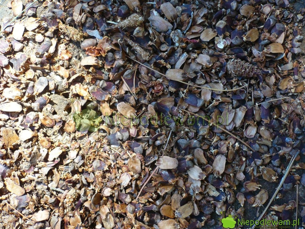 Nasiona sosen wejmutek lubią zjadać zwierzęta, np.wiewiórki iptaki. Fot.Niepodlewam