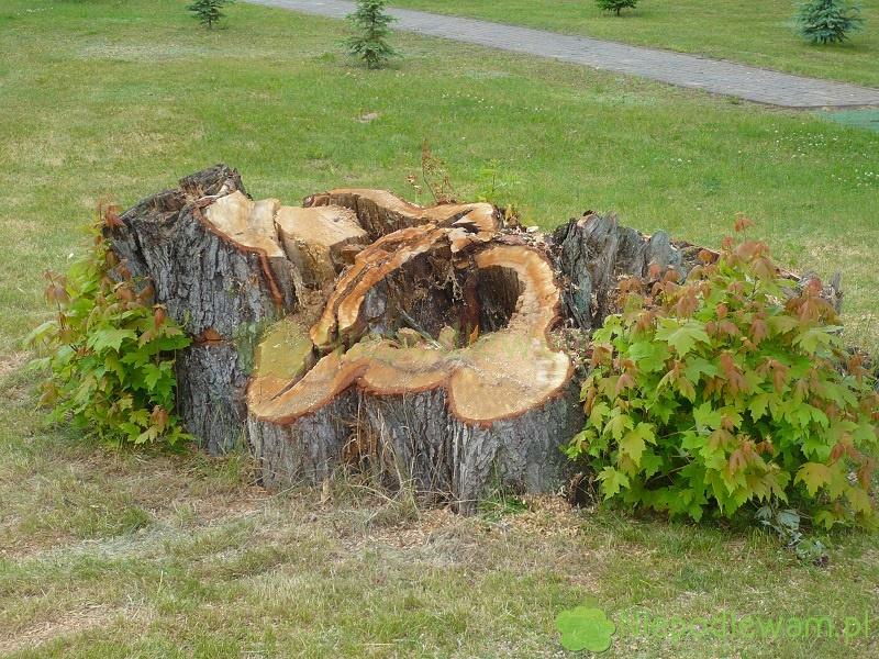 Po ścięciu drzewa, powstaje pytanie jak usunąć pieniek. Można to zrobić bez karczowania. Fot. Niepodlewam