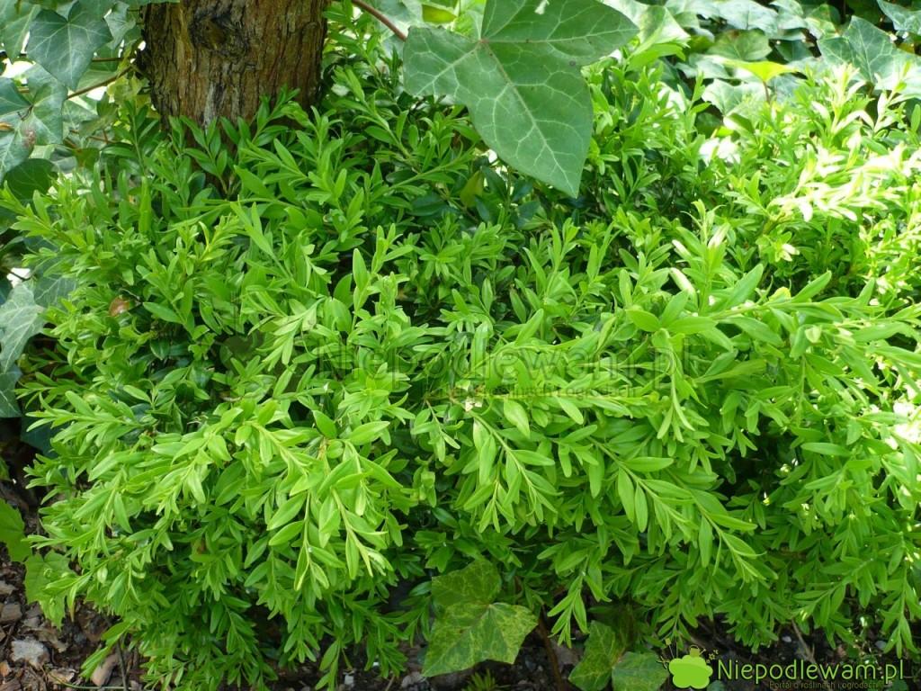 Bukszpan wieczniezielony Angustifolia wyróżnia się smukłymi liśćmi. Fot. Niepodlewam