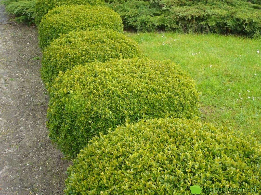 Bukszpan wieczniezielony jest ozdobny z liści. Świetnie nadaje się do strzyżenia np. w kule. Fot. Niepodlewam