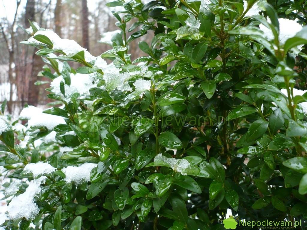 Bukszpan wieczniezielony zimą. Nie  traci liści na zimę. Fot. Niepodlewam
