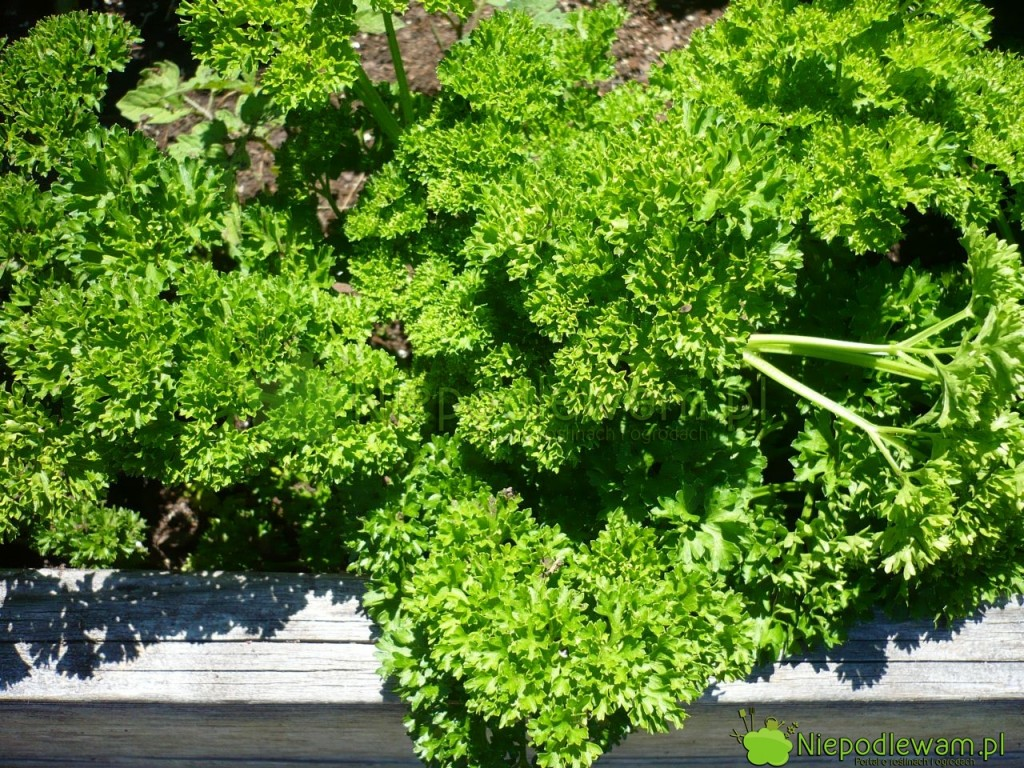 Pietruszka ma odmiany korzeniowe i naciowe. Naz zdjęciu: pietruszka naciowa Triple Curled. Fot. Niepodlewam
