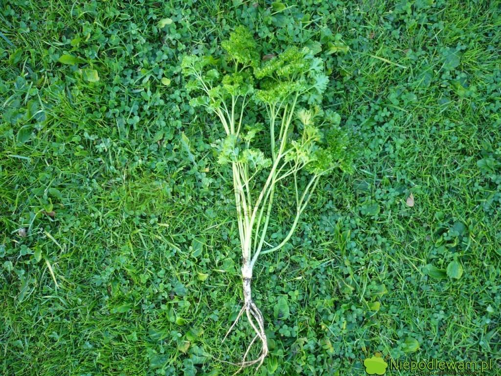Pietruszka naciowa ma ładne liście leczmały korzeń. Fot.Niepodlewam