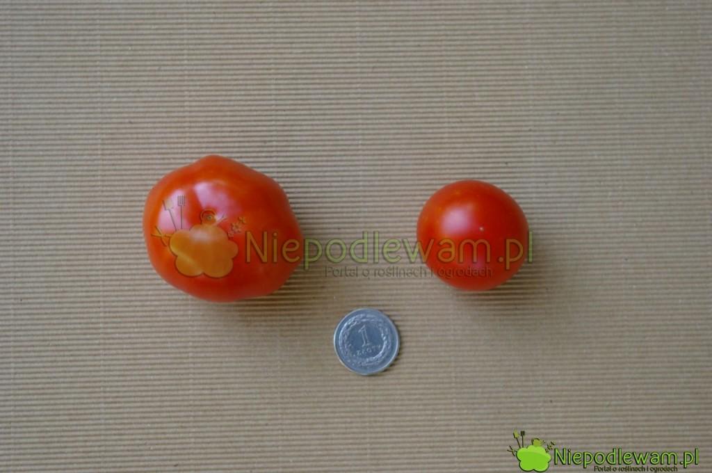 Pomidor Beta (większy) i Maskotka (mniejszy). Fot. Niepodlewam