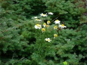 Rumianek pospolity bardzo dobrze rośnie w ogrodach. Zwiększa odporność innych roślin. Najlepiej pozwolić, by rozsiewał się sam. Fot. Niepodlewam