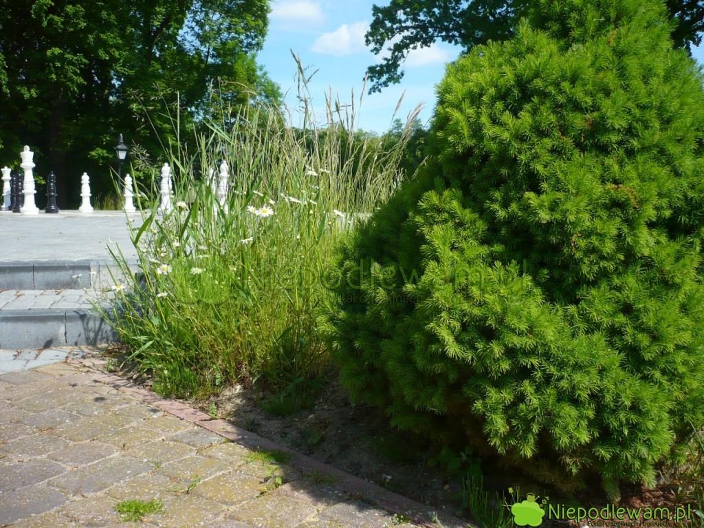 Rumianki pospolite lubią zasiedlać mniej wypielęgnowane zakątki ogrodu. Fot.Niepodlewam