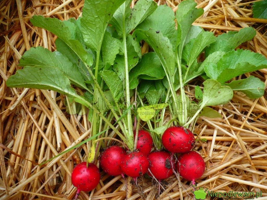 Rzodkiewki uprawia się głównie dla smacznych zgrubień korzeniowych. Jadalne są także młode liście. Nazdjęciu: rzodkiewka Saxa 2. Fot.Niepodlewam