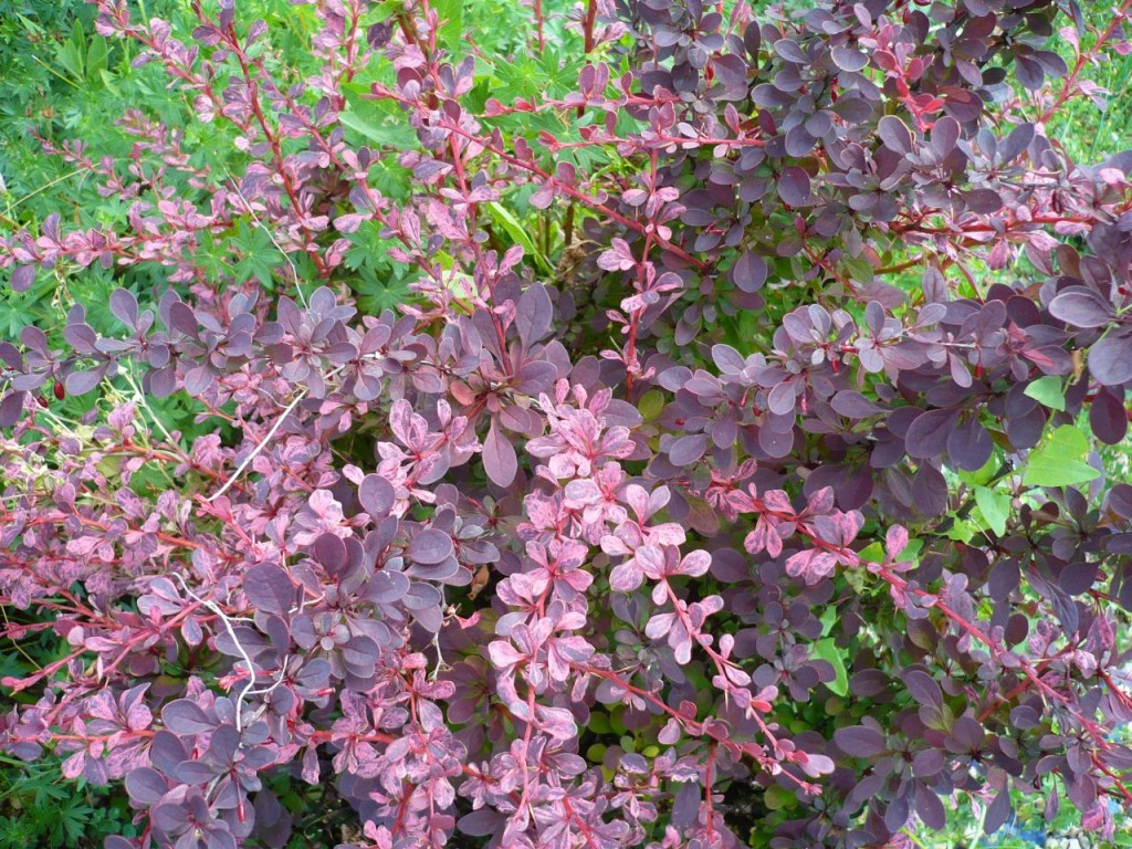 Berberys Thunberga Rose Glow ma unikalny kolor liście. Są różowo-czerwone. Fot. Niepodlewam