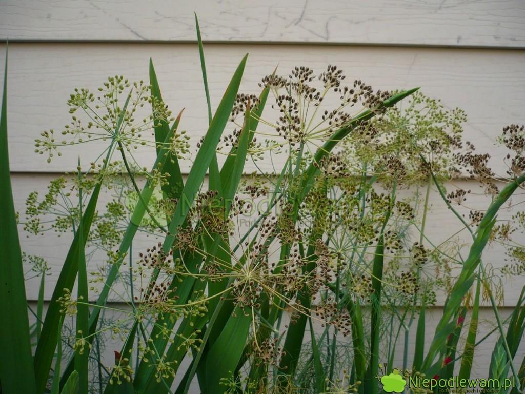 Koper ogrodowy uprawiany na nasiona. Fot. Niepodlewam