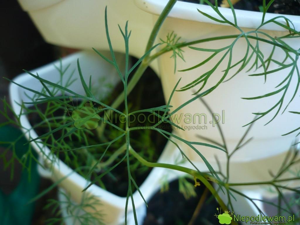 W doniczkach koperek uprawia się namłode, zielone listki. Fot.Niepodlewam