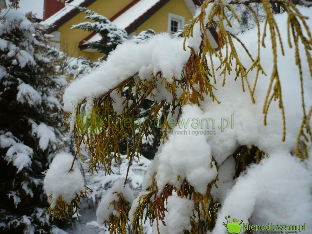 Luty wogrodzie często jest śnieżny. Zdarzają się też lata, gdypogoda jest wiosenna. Fot.Niepodlewam