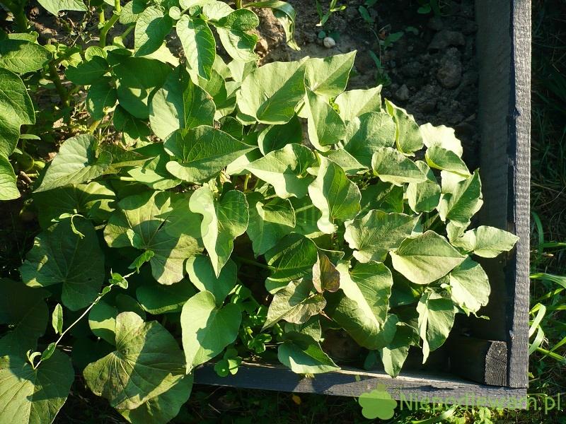 Podwyższone grządki to dobre miejsce do uprawy m.in. warzyw wybitnie ciepłolubnych, np. bakłażanów. Fot. Niepodlewam