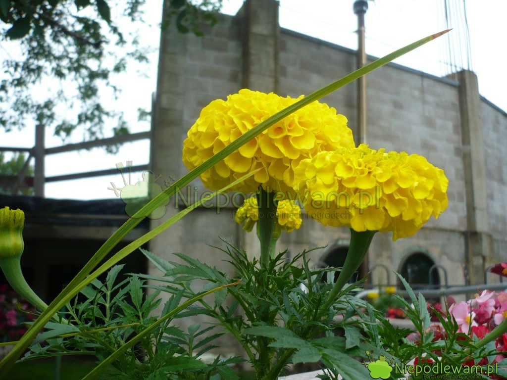 Aksamitki bardzo dobrze się przyjmują poprzesadzeniu dogruntu lub nabalkon, nawet jeśli mają kwiaty. Fot.Niepodlwam