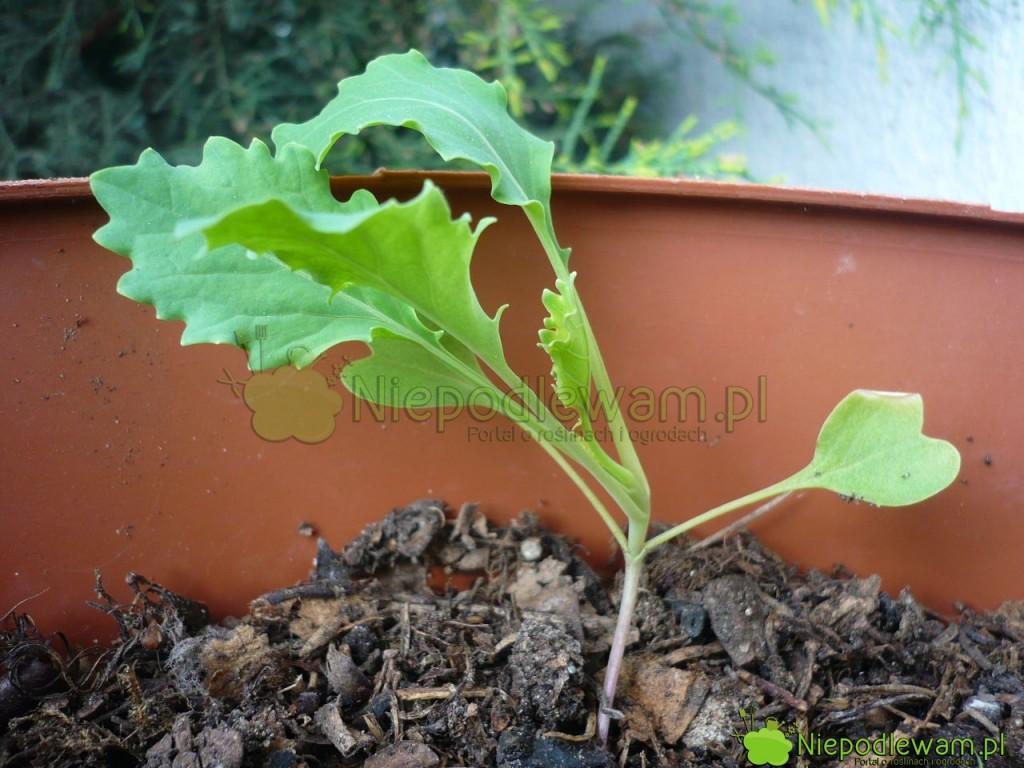 Rozsada kalarepy nadaje się do sadzenia w gruncie, gdy ma 4-6 liści. Fot. Niepodlewam