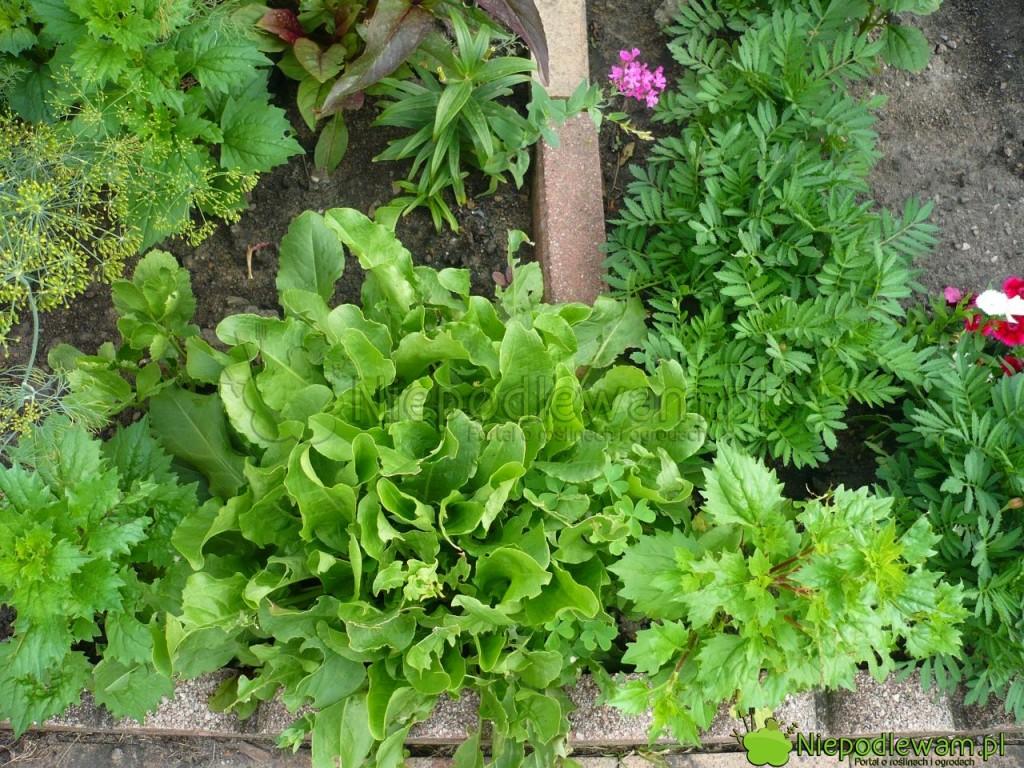 Siew szczawiu jest prosty. To warzywo szybko rośnie i plonuje przez kilka lat w tym samym miejscu. Fot. Niepodlewam
