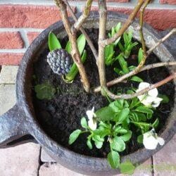 Hiacynty rosnące w donicach nie potrzebują nawożenia. Nawóz jest potrzebny hiacyntom, które rosną w gruncie w ogrodzie. Fot. Niepodlewam