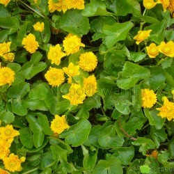 Kaczeniec Multiplex to jedna z najpiękniejszych odmian. Ma pełne kwiaty. Fot. Niepodlewam
