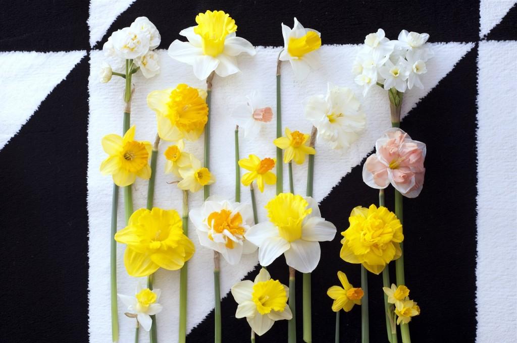 Do uprawy doniczkowej nadają się wszystkie narcyzy, zarówno wysokie, jak i niskie. Fot. Flower Council of Holland/thejoyofplants.co.uk