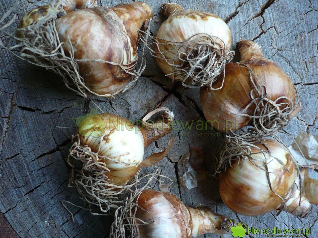 Do sadzenia w doniczkach nadają się tylko duże cebule. Przed sadzeniem trzeba usunąć stare korzenie. Fot. Niepodlewam