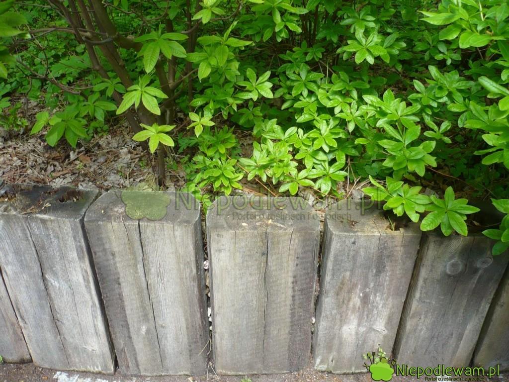 Palisada ogrodowa z drewnianych belek. Fot. Niepodlewam
