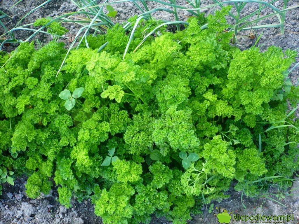 Pietruszka naciowa Moss Curled 2 to zdrowo rosnąca odmiana. Fot. Niepodlewam