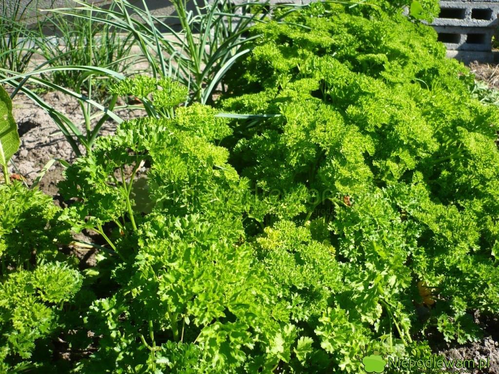 Pietruszka naciowa Moss Curled 2 ma kędzierzawe liście przypominające bujny mech. Fot. Niepodlewam
