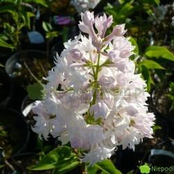 Bez Krasawica Moskwy został pierwszy raz pokazany publicznie w 1943 roku. Ma różowobiałe, podwójne kwiaty. Ślicznie, średnio mocno pachnie. Fot. Niepodlewam