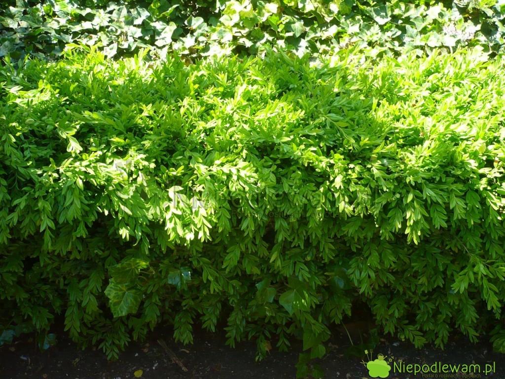 Prawidłowo nawożony bukszpan wieczniezielony Angustifolia ma soczyście zielone liście. Fot.Niepodlewam