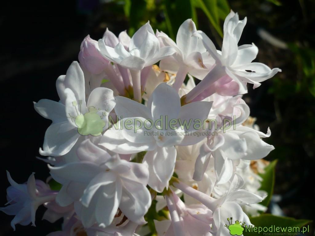 Lilak pospolity Krasawica Moskwy może być cięty także w czasie kwitnienia. Fot. Niepodlewam